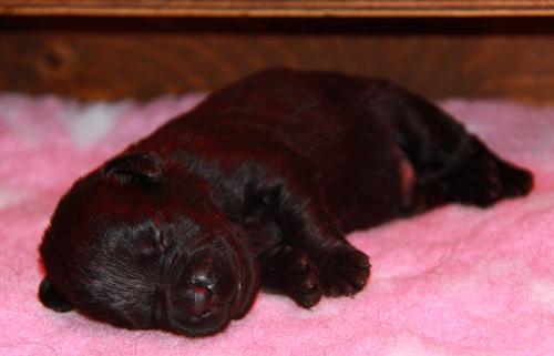 Buon Compleanno Cuccioli Tanti Auguri Enigma Labrador
